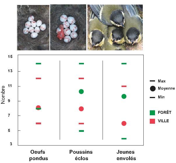 Figure 2 : Nombre d'œufs pondus, de poussins éclos et de jeunes envolés chez la Mésange charbonnière en habitat urbain et forestier [année 2020]. 31 nids urbains et 69 nids forestiers.